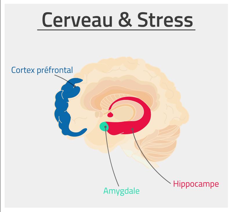 Cerveau et stress