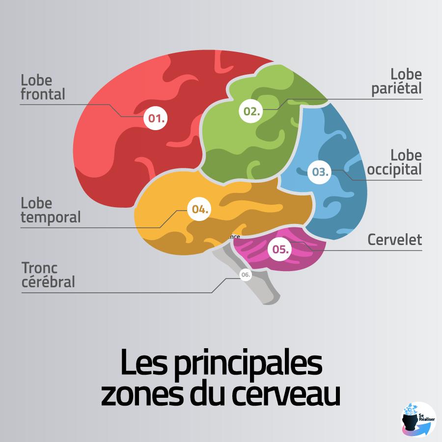 Schéma représentant les principales zones du cerveau